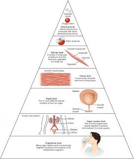 Tingkat Organisasi Anatomi Pada Tubuh Manusia