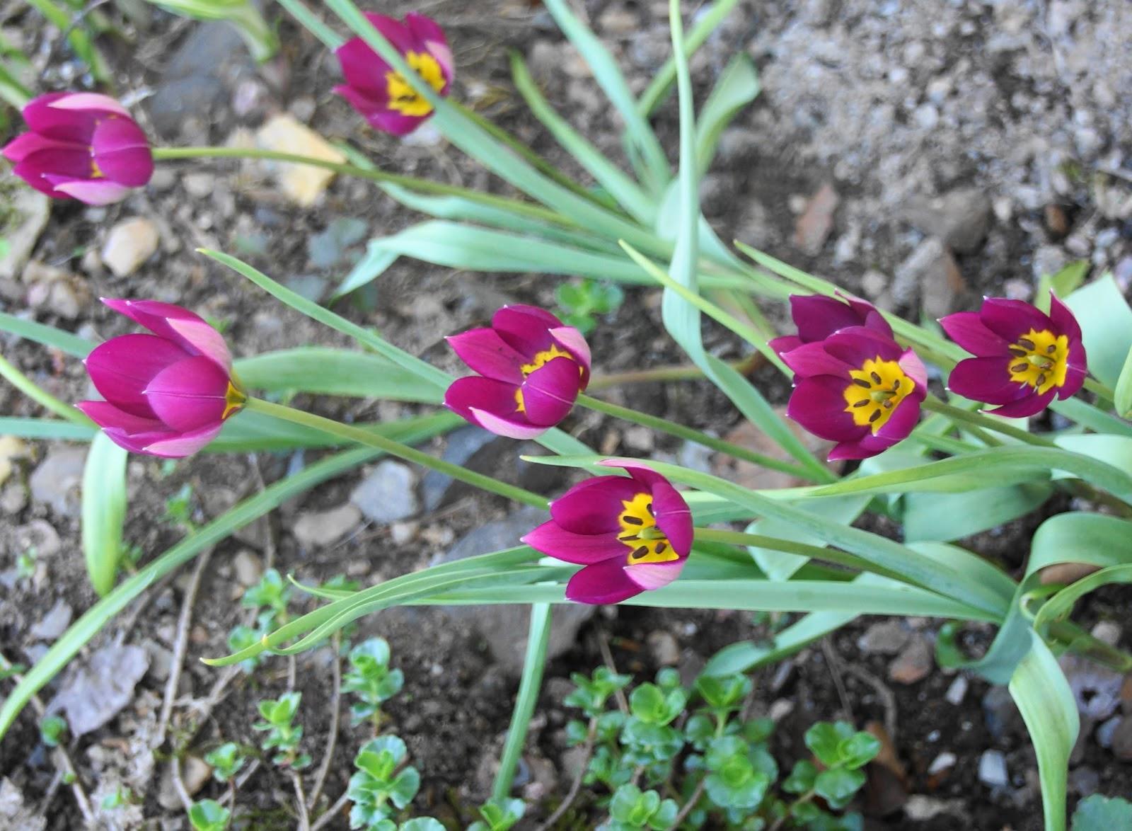 Villroses hage: Botaniske og foredlede tulipaner
