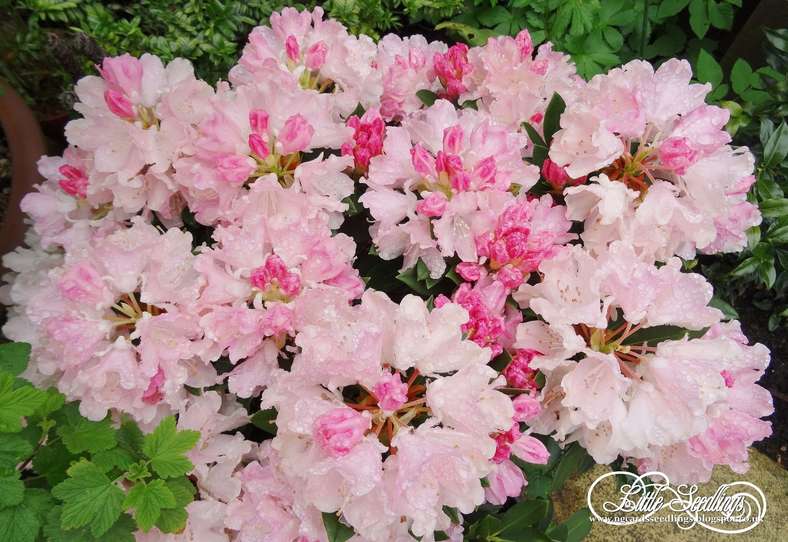 Ng Little Seedlings Plant Of The Month Rhododendron Dreamland