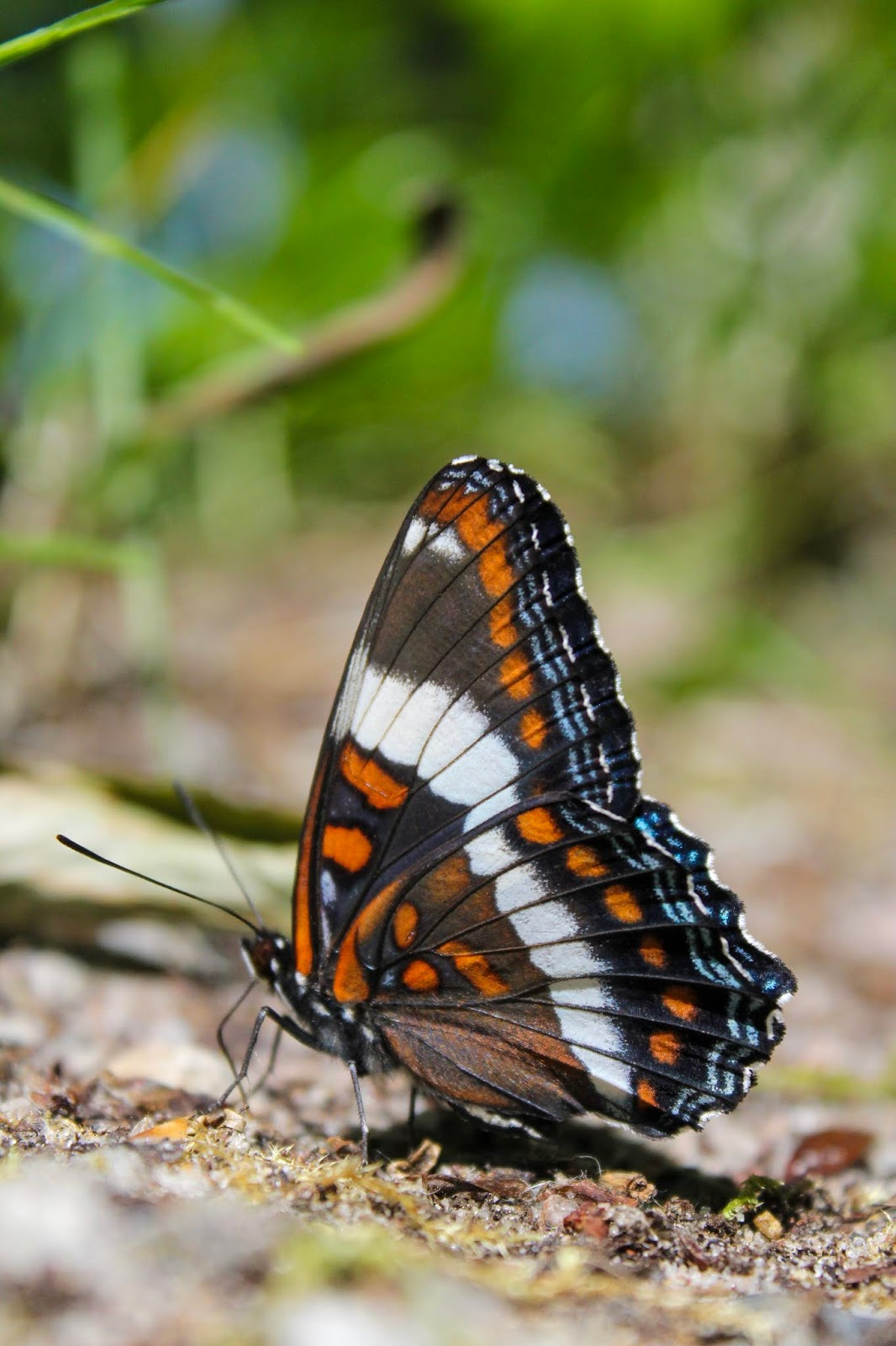 white admiral butterfly at Awenda Provincial Park