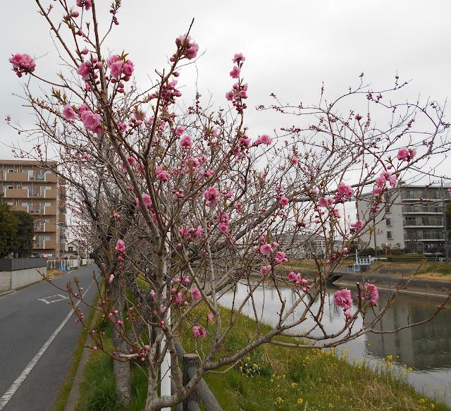 川沿の並木に咲くピンクの花