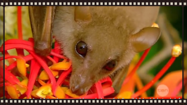 Rehab | Blossom and Totally Wild | Megabat in care, Common blossom bat (Syconycteris australis)