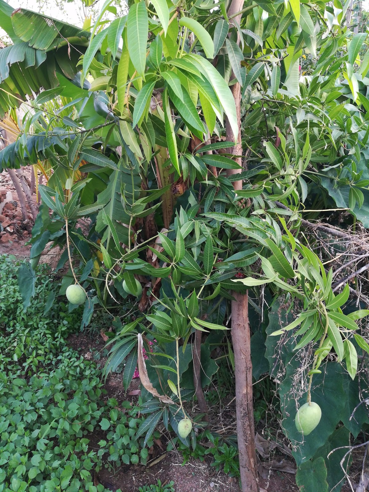 Most Beautiful Fruits Wallpapers And Green Mango Fruits Tree