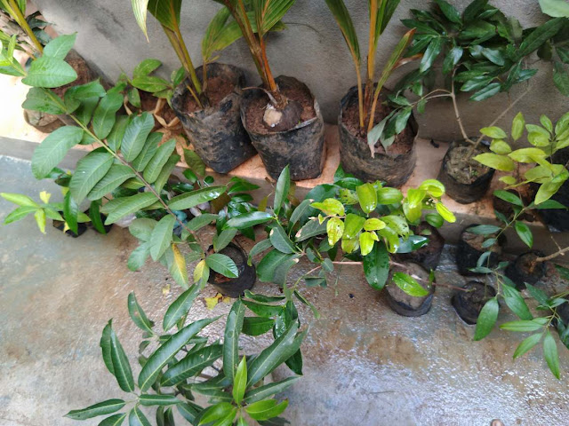 Mango, guava, Custard apple, Sapota plants