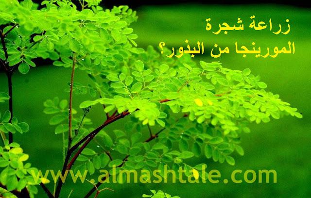 زراعة شجرة المورينجا moringa oleifera من البذور