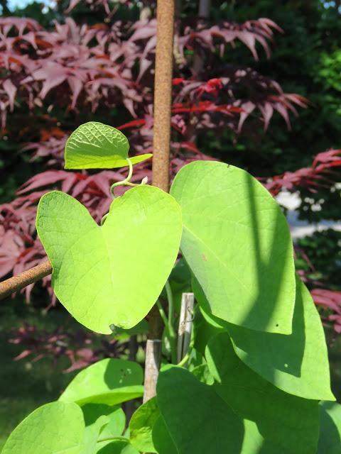 Nærbilde av pipeholurt og japansk lønn. Vakker farge- og plantekombinasjon i Furulunden.