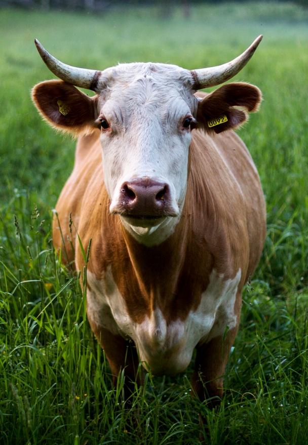 The Red Heifer - Torah Portion Chukat | Land of Honey