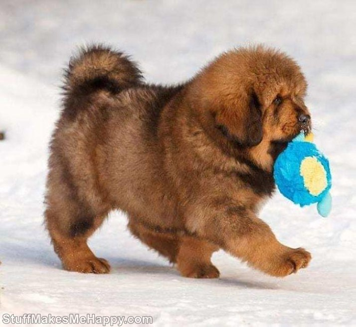 8. He will grow up a gentle giant Tibetan Mastiffs Puppy