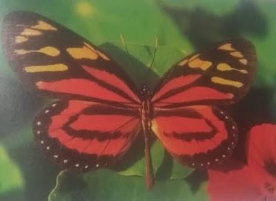 Mariposa tigre naranja (Lycorea cleobaea)