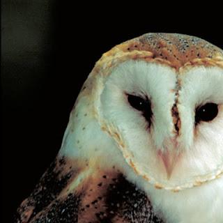 Endangered New Jersey: Jersey Owls