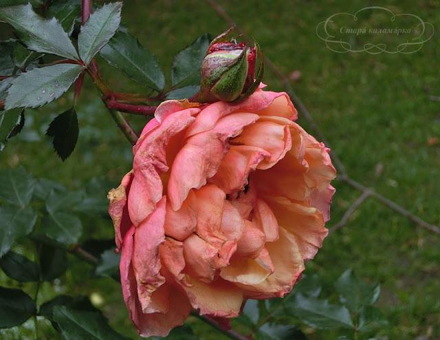 розы в саду, венгрия, о жизни в венгрии, русские в венгрии, хюгге, рустик, блоги о жизни за границей, ваби саби