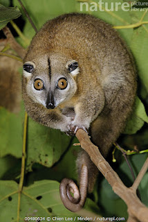 Cuscus vistoso (Phalanger ornatus)