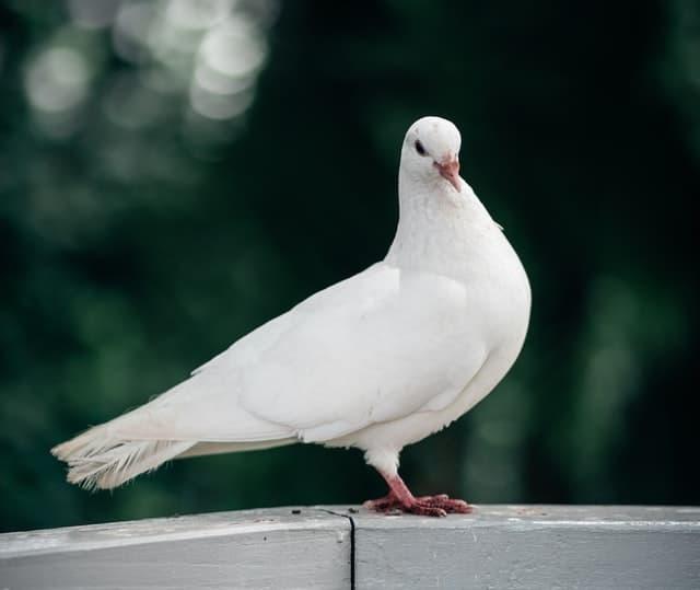 aprende ingles animal paloma dove silvestre campo blanca marron campo
