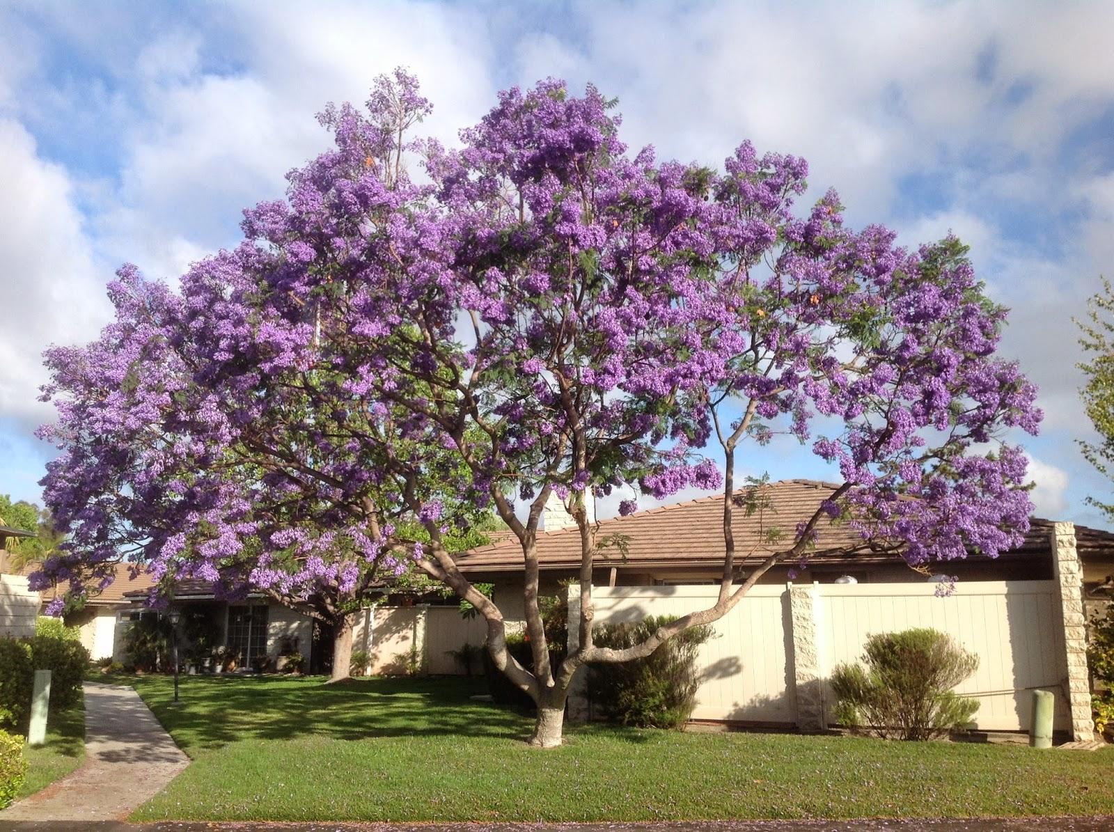 D & J Agle Extended Family: JACARANDA TREE
