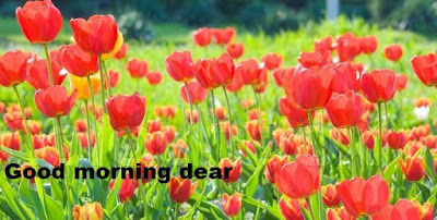 Good morning flowers pictures - beautiful tulips flowers images