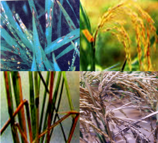 """paddy blast disease"",""rice blast disease control"",""symptoms of rice blast disease"""