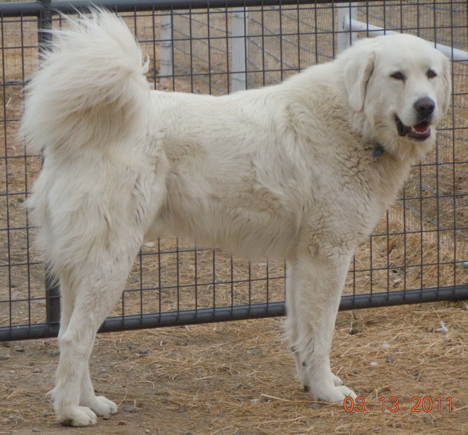 Livestock Guardian Dog Blog Close Guarding Lgds Vs Far Ranging