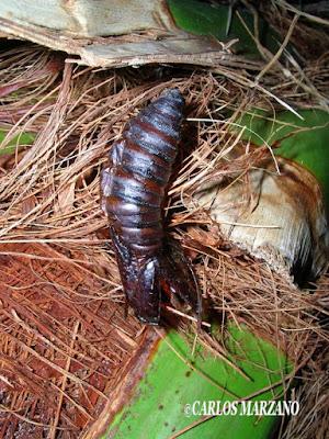 oruga de Polilla de las palmeras (Paysandisia archon)