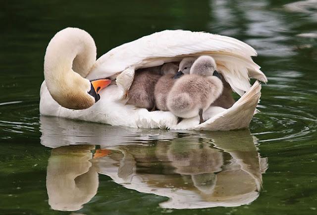 أكثر 30 صورة رائعة للطيور cute-bird-parents-23