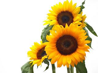 Gambar Bunga Matahari Paling Indah 20007_Sunflower