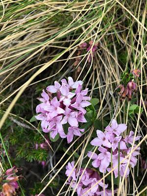 [Thymelaeaceae] Daphne striata – Striped Daphne (Dafne striata).