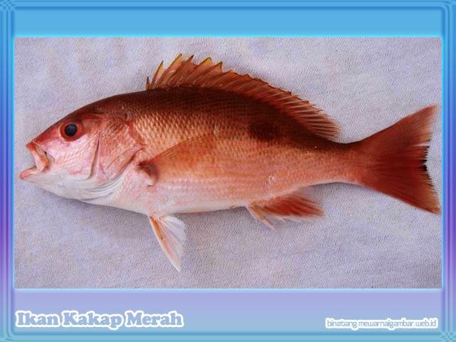 gambar ikan kakap merah