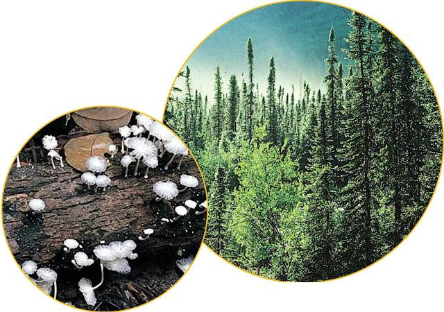 Di rumah kaca, suhu udara sekitar 1,6 derajat Celcius lebih hangat dan suhu tanah sekitar 0,5 derajat Celcius lebih hangat. Hutan boreal sangat sensitif terhadap perubahan iklim dan menyimpan karbon dalam jumlah besar di pohon dan tanahnya.    Semua organisme memiliki jumlah energi terbatas yang mereka butuhkan untuk membagi antara pertumbuhan, kelangsungan hidup dan reproduksi. Para ilmuwan dari Meksiko dan AS mengkuantifikasi bagaimana jamur pengurai menghabiskan energinya dengan memeriksa metatranskriptom tanah.    Teknik ini menangkap aktivitas jamur pengurai dengan mendekode RNA, pendahulu enzim dan protein yang menarik. Mereka membandingkan aktivitas dekomposer jamur antara plot (petak) yang dihangatkan oleh rumah kaca dan dekomposer tanah plot kontrol yang sesuai pada kondisi normal.  Para peneliti menemukan bahwa kelompok jamur dekomposer yang diketahui memiliki adaptasi toleran terhadap pengeringan dan tekanan lingkungan lainnya lebih umum terjadi pada plot yang dihangatkan daripada plot kontrol.    Di jelaskan juga mereka menemukan bahwa dekomposer jamur di petak tanah yang dipanaskan menggunakan gen pemeliharaan metabolisme sel mereka pada tingkat fungsi yang lebih tinggi daripada jamur di petak tanah kontrol. Jamur difokuskan pada bertahan hidup daripada membusuk materi mati.    Ini adalah contoh yang jelas dari pertukaran antara kelangsungan hidup dan pertumbuhan. Kita mungkin akan melihat jamur yang hidup di tanah hutan boreal lebih mengutamakan kelangsungan hidup daripada pembusukan. Pada saat yang sama, komunitas jamur dapat menjadi didominasi oleh kelompok jamur dengan adaptasi toleran terhadap stres.     Pergeseran dalam alokasi energi ini dan komunitas jamur dapat mengubah siklus karbon pada skala ekosistem. Perubahan iklim tidak hanya menyebabkan jamur mengubah aktivitas mereka, tetapi jamur juga dapat berdampak pada iklim melalui aktivitas dekomposisi (pengurai ) mereka.