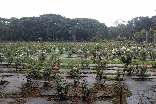 Rose garden of Lalbagh