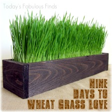Grow Wheat Grass in 7-9 Days