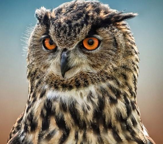 , Fince dilinde Hangi kuşun Adı aptal Anlamına gelir