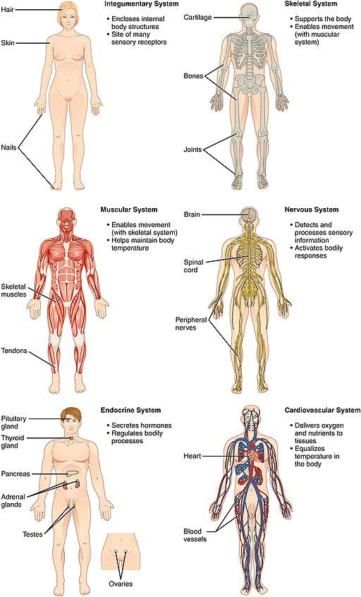 Sistem Organ Tubuh Manusia dan Fungsinya