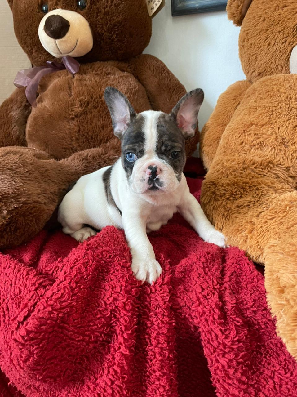 Comprar Cachorro Bulldog Francés