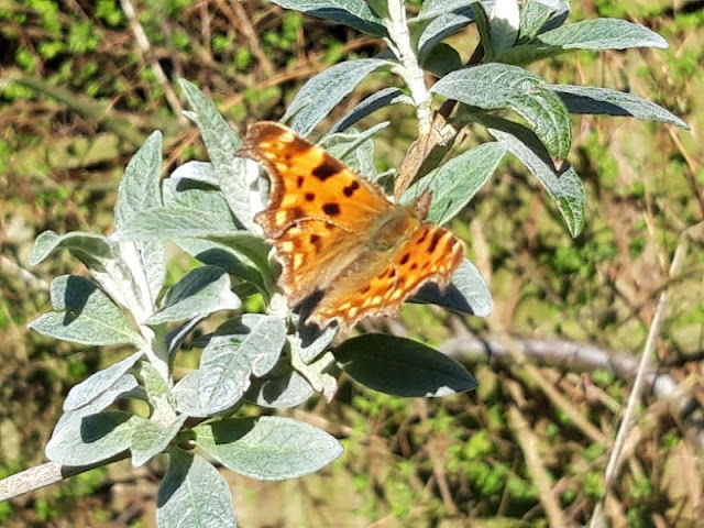 Image shows an orange Comma butterfly resting on silver-grey Buddleja leaves