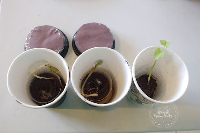 Results showing plants do follow light.