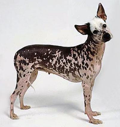 Peruvian Inca Orchid | Peruvian hairless dog, Hairless dog