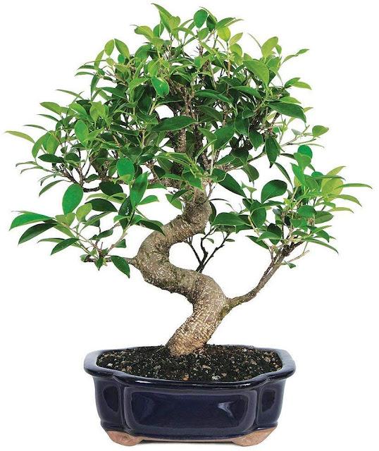 Brussel's Bonsai Live Golden Gate Ficus Indoor Bonsai Tree