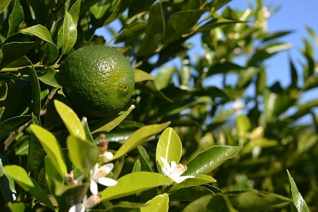 Orange (Malta) fruit crop Guidelines for Ambia bahar 3