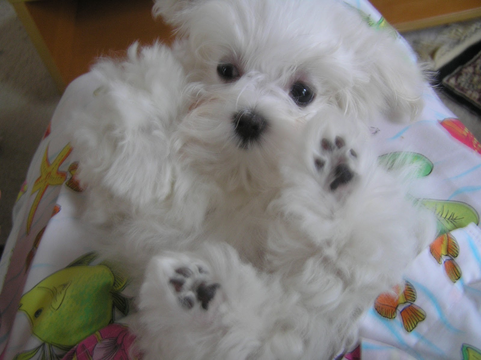 Cute Puppy Dogs Maltese Puppies