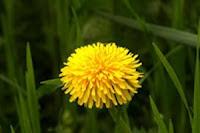 Remedii-homeopate-eficiente-in-tratarea-afectiunilor-ficatului