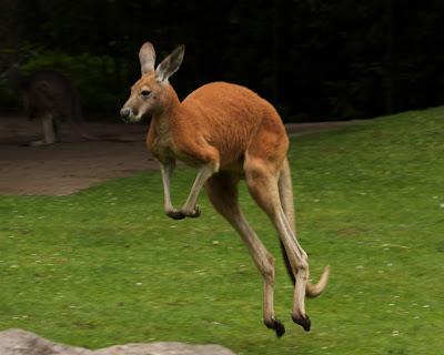 Kangurular Neden Yürüyemez?, Kanguru Anatomisi, Kanguru Fizyolojisi, Kanguru İskelet Yapısı,