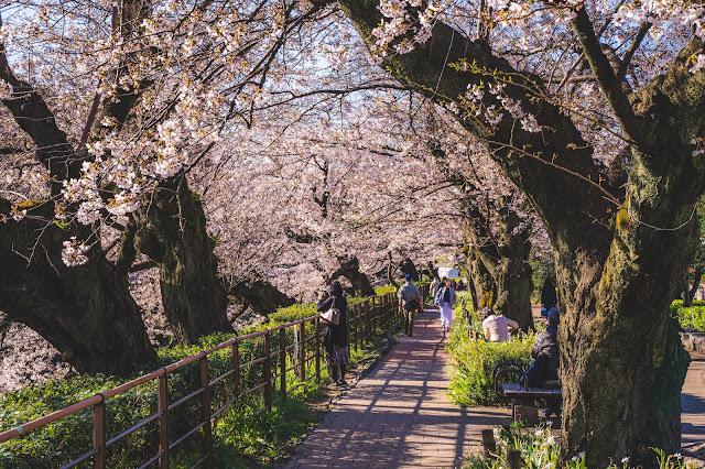 桜,ホワイトバランス,千鳥ヶ淵