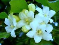 melati variegata