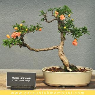 Bonsai Delima 6