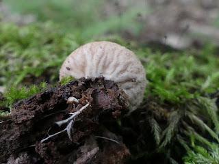 Lycoperdon subincarnatum - Vesse-de-loup incarnate
