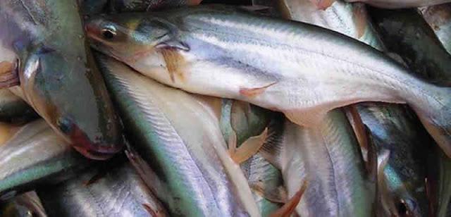 Manfaat Ikan Patin untuk Asam Urat
