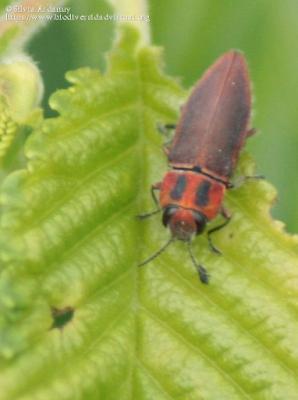 https://www.biodiversidadvirtual.org/insectarium/Anthaxia-manca-(Linnaeus-1767)-img984804.html