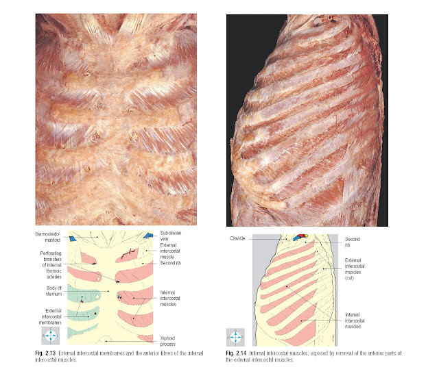 External intercostal membranes and the anterior fibres of the internal intercostal muscles. Internal intercostal muscles, exposed by removal of the anterior parts of the external intercostal muscles