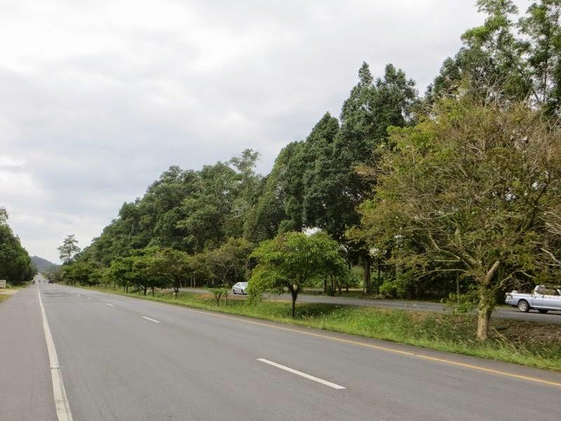 Деревья на разделительной полосе