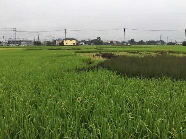 こしがや田んぼアート2015食戟のソーマ(8/30)