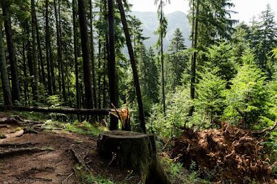 Dupa circa 45 minute urcusul prin padure ne ofera o vizibilitate din ce in ce mai buna. Padurea se rarefiaza.